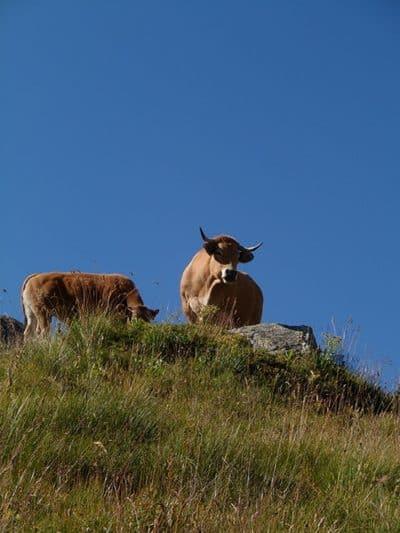 Les tarines, vaches locales !